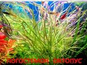 Погестемон октопус. НАБОРЫ растений для запуска.П0чт0й 0тправлю-