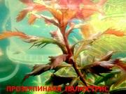 Прозерпинака палюстрис. НАБОРЫ растений для запуска. Почтой отправлю==