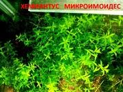 Хемиантус микроимоидес. НАБ0РЫ растений для запуска. П0чт0й и маршрут