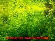 Хемиантус микроимоидес. НАБОРЫ растений для запуска. ПОчтой и маршрут)