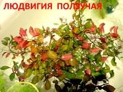 Людвигия ползучая. НАБОРЫ растений для запуска. ПОЧТОЙ и мар