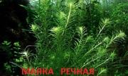 Маяка речная. НАБОРЫ растений для запуска. ПОЧТОЙ и МАРШР