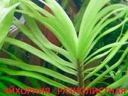 Эйхорния лазарева. НАБОРЫ растений для запуска. ПОЧТОЙ и ма