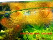 Красный перестолистник и др. аквариум-е растения,  наборами для запус=