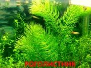 Роголистник -- аквариумные растения. Наборы растений для запуска аква-