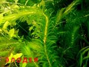 Элодея канадская -- аквариумные растения. Наборы растений для запуска-