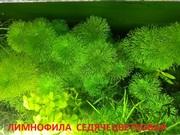 Лимнофила седячецветков. наборы растений для запуска. Почтой отправлю.